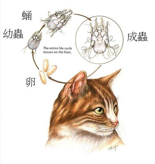 狗貓耳疥蟲生活圖