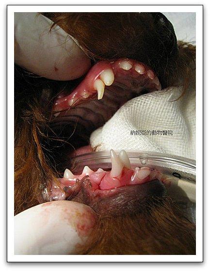 狗貓牙科:永不脫落的永存性乳齒