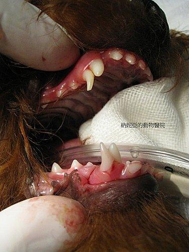 敦品動物醫院牙齒保健 — 乳牙拔牙篇