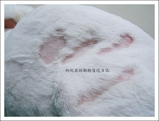 狗貓皮膚病 — 皮黴菌錢癬篇