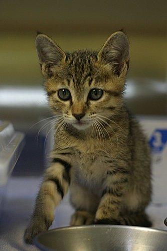 認識貓咪的預防針@敦品動物醫院