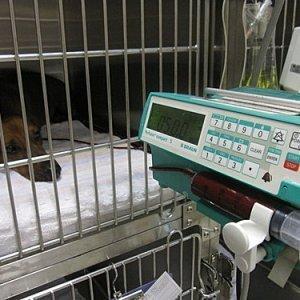 犬焦蟲輸血