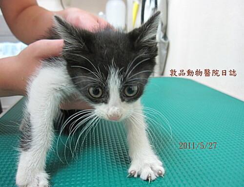 請帶我回家 –敦品小貓領養中