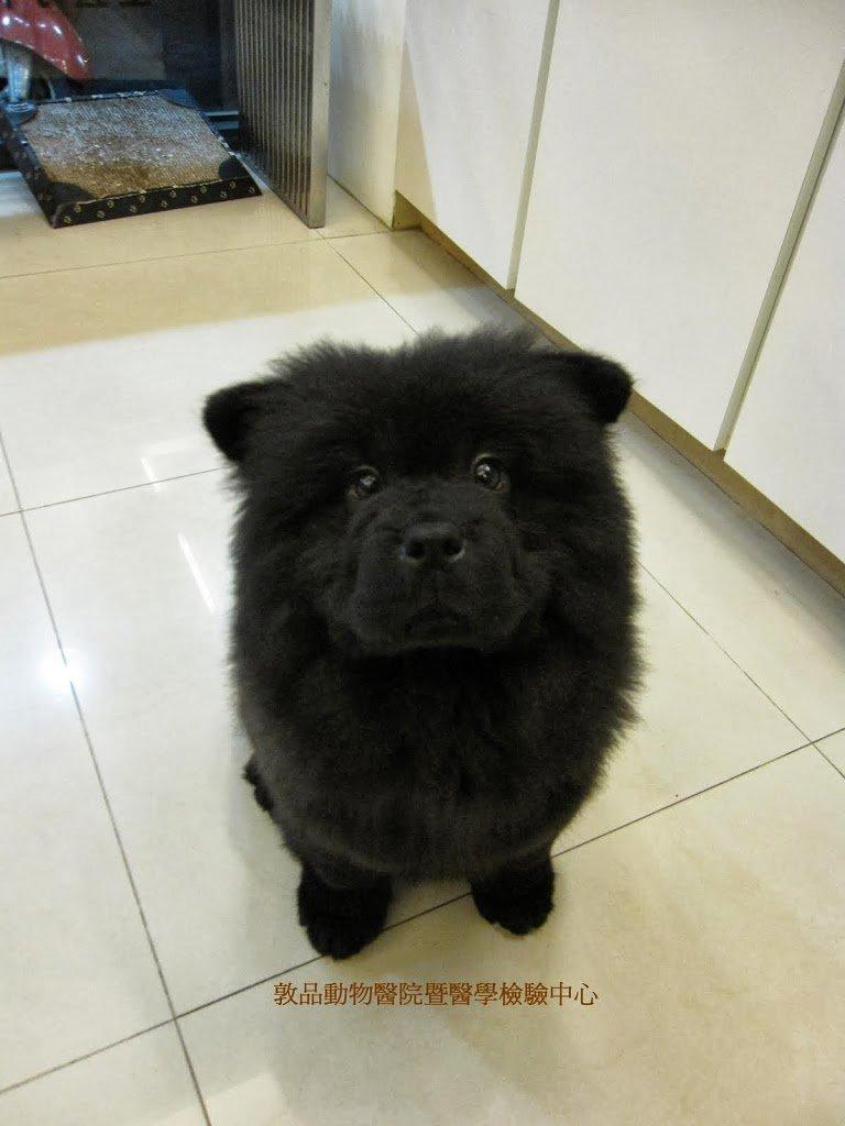 可愛的小鬆師犬 ^^