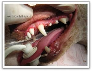 狗狗洗牙, 貓咪洗牙圖片