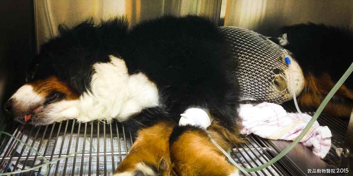 狗鉤端螺旋體腹膜與犬胰臟炎