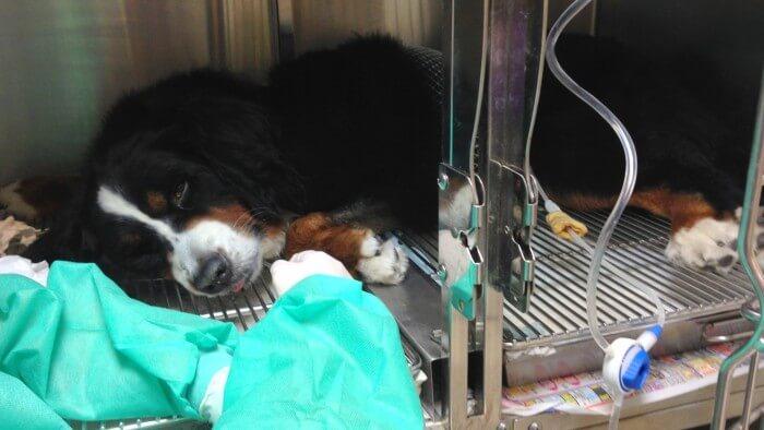 狗鉤端螺旋體, 洗腎腹膜透析