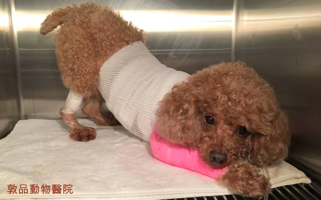 狗狗胰臟炎腹痛症狀
