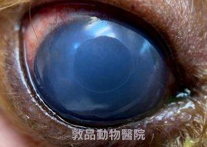 狗眼科,角膜水腫,diffuse